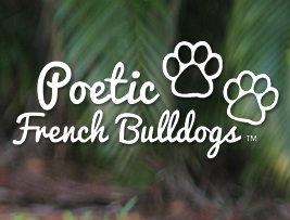 french-bulldog-puppies,-bulldog-breeders-poetic-french-bulldogs
